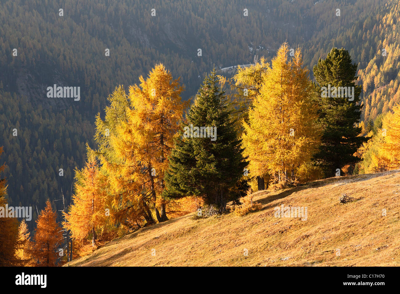 Nockberge National Park, autumnal larch forest, view from Nockalm road, Carinthia, Austria, Europe - Stock Image