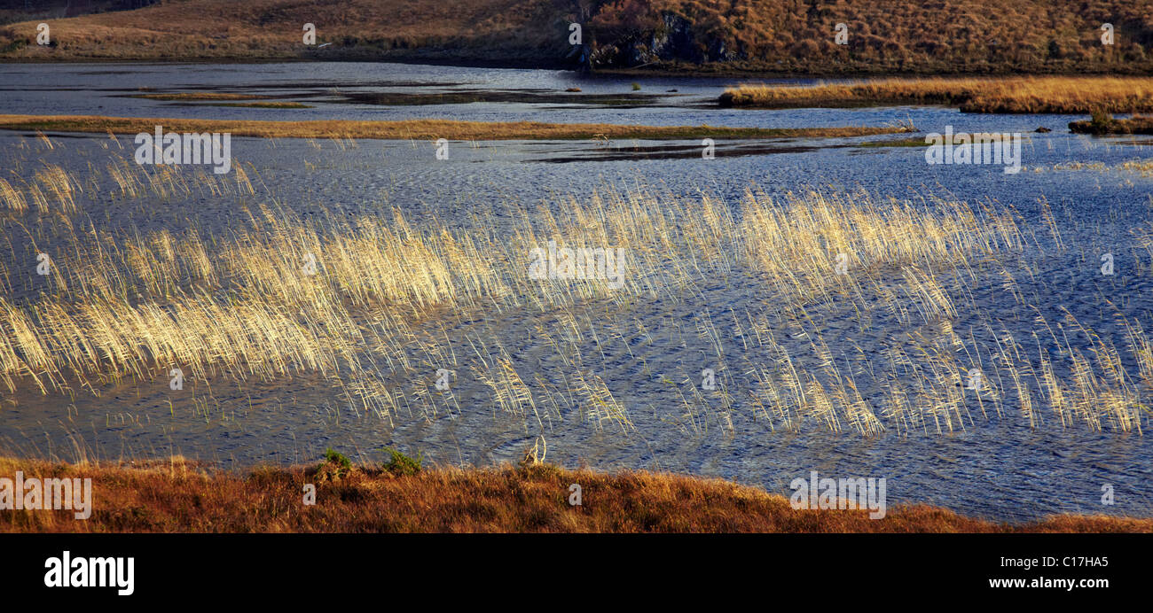 Looking northwards across fresh water reeds on Loch More, Highlands, Scotland - Stock Image