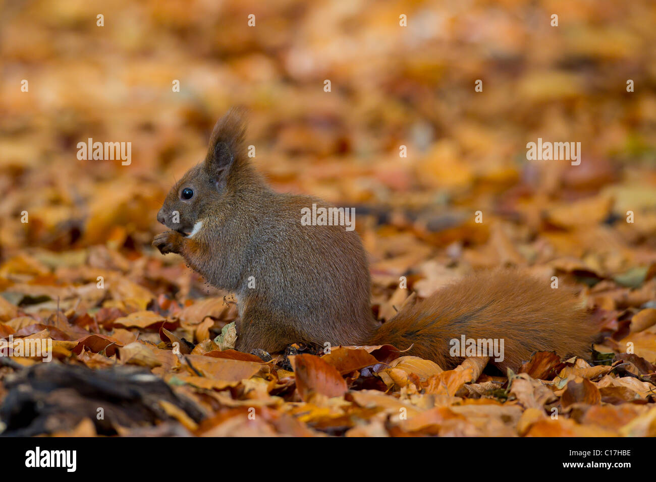 Eurasian red squirrel (Sciurus vulgaris) eating nut on the ground in autumn forest, Germany - Stock Image