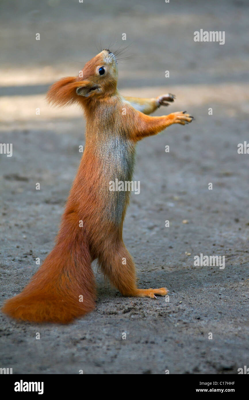 Eurasian red squirrel (Sciurus vulgaris) standing upright on the ground begging for food, Germany - Stock Image