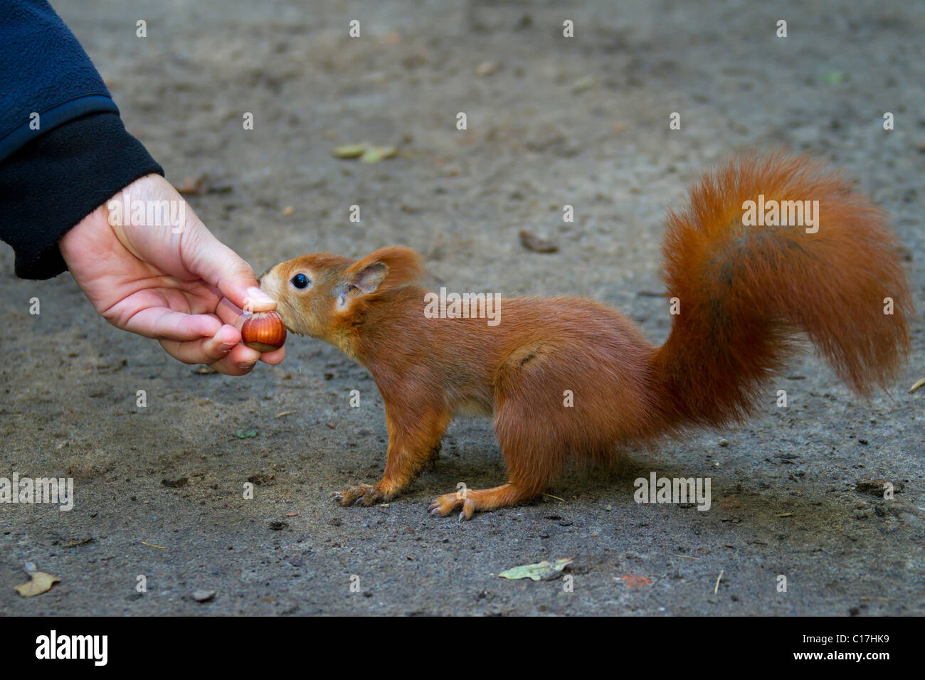 Eurasian red squirrel (Sciurus vulgaris) on the ground eating nut from hand, Germany - Stock Image
