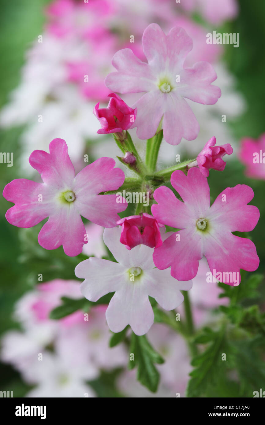 Verbena Aztec Pink Magic (Aztec Series) June - Stock Image