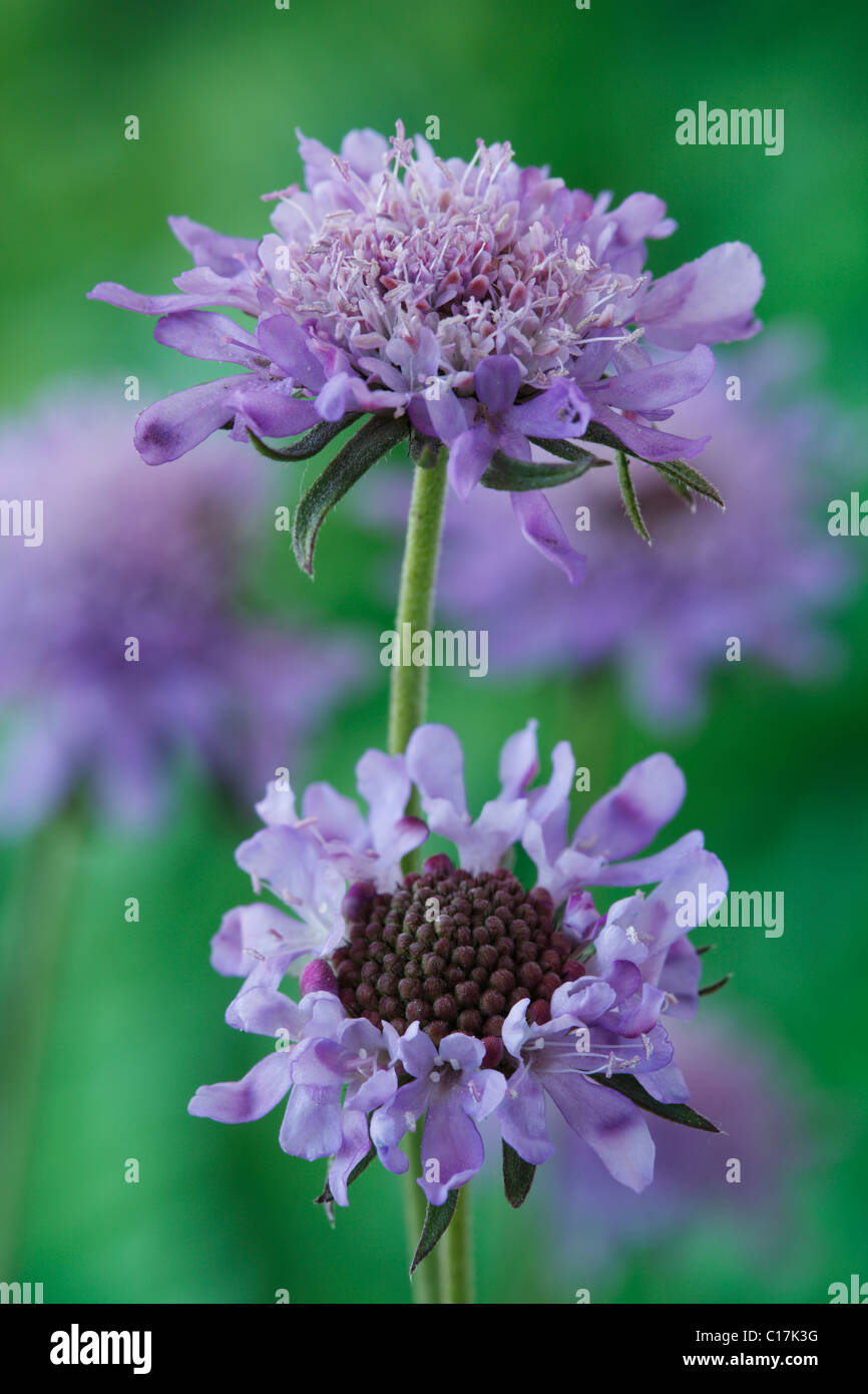 Scabiosa columbaria 'Misty Butterflies' Small scabious June - Stock Image