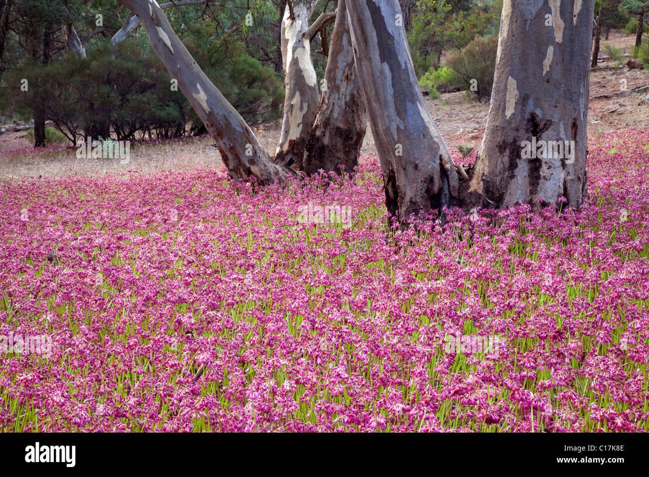 garland lilies (Calostemma purpureum), Flinder Ranges National Park, South Australia, Australia - Stock Image