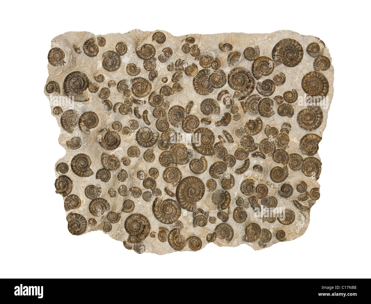 Fossil Ammonites Arnioceras kridioides from Jurassic period Yorkshire Coast UK - Stock Image