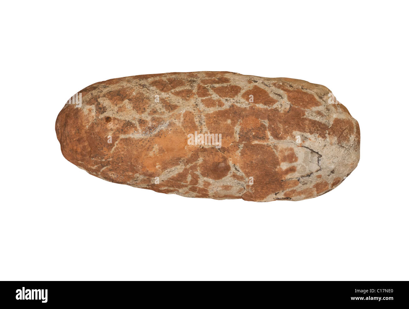 Fossil Dinosaur egg Oviraptor sp. from Cretaceous period Hanan Province China. Length 20 cm. - Stock Image