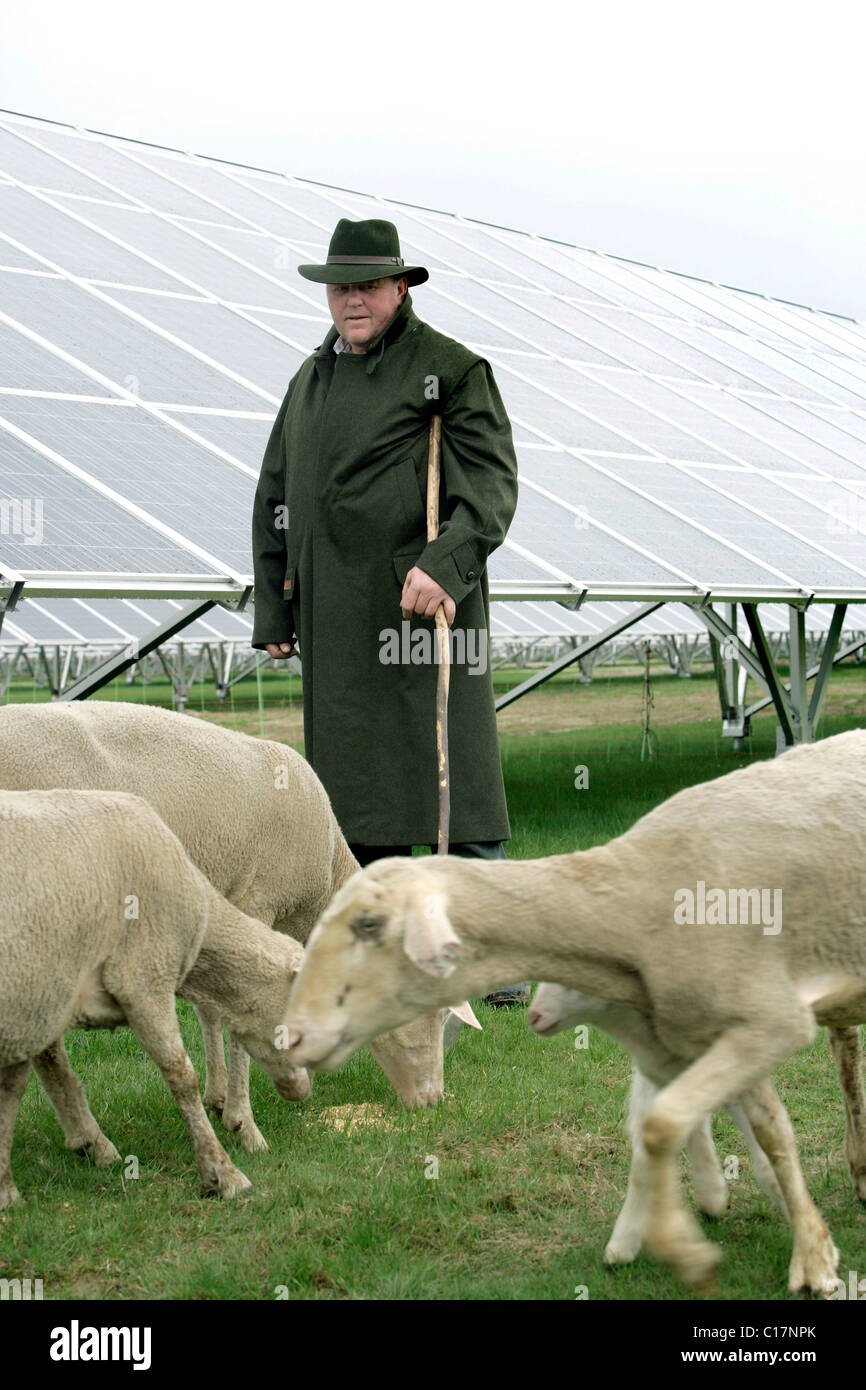 A shepherd with his Merino Sheep under the solar panels in a Solar Power Plant in Pocking, Bavaria, Germany, Europe - Stock Image