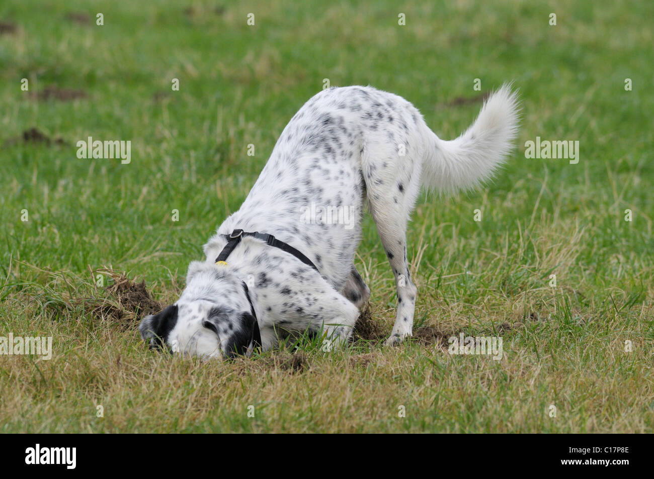 Dalmatian crossbreed sniffing in a hole on a meadow Stock Photo