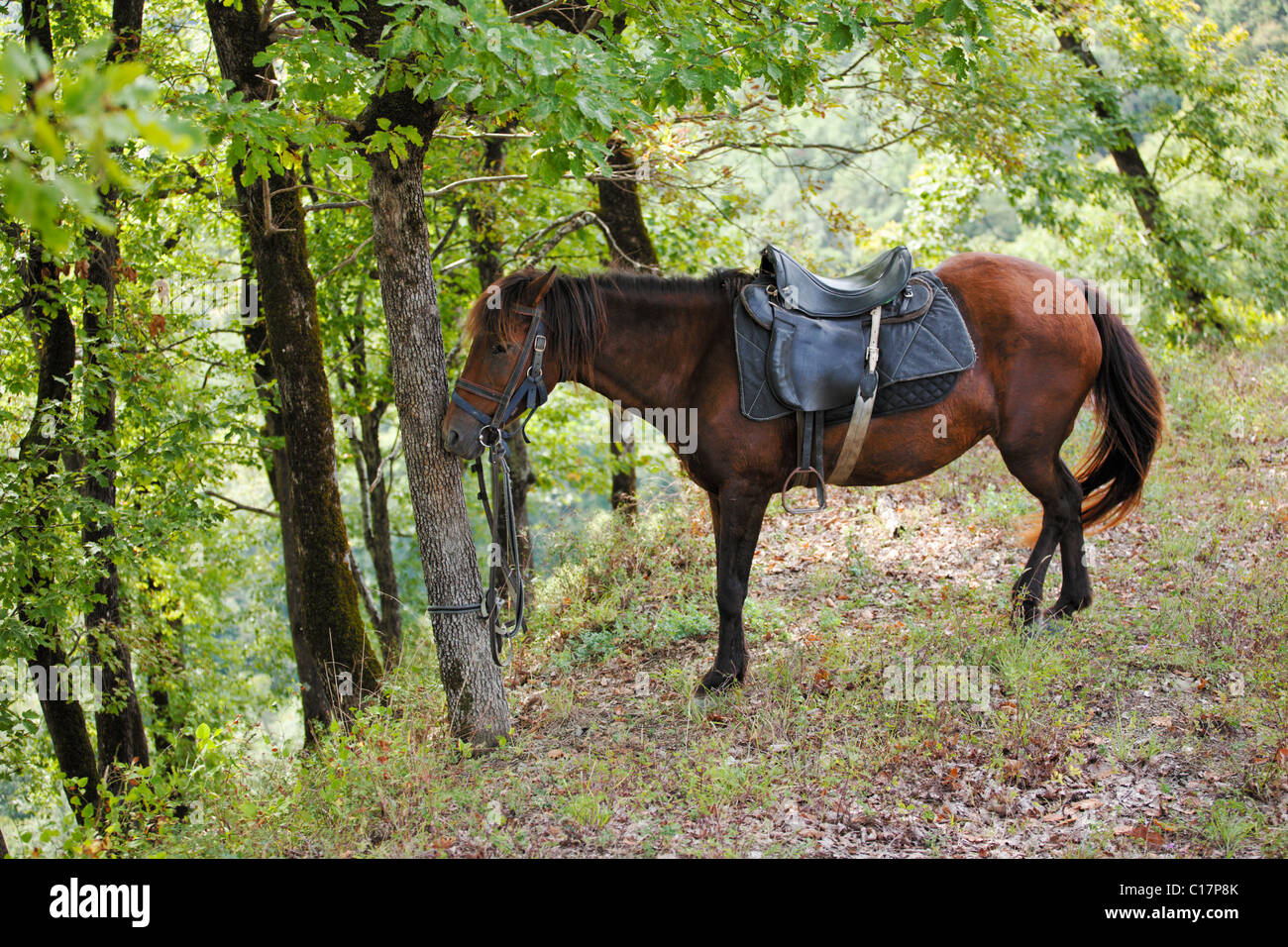 Bay horse resting in forest - Stock Image