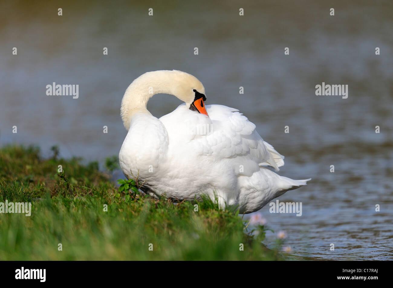 Mute Swan (Cygnus olor) - Stock Image