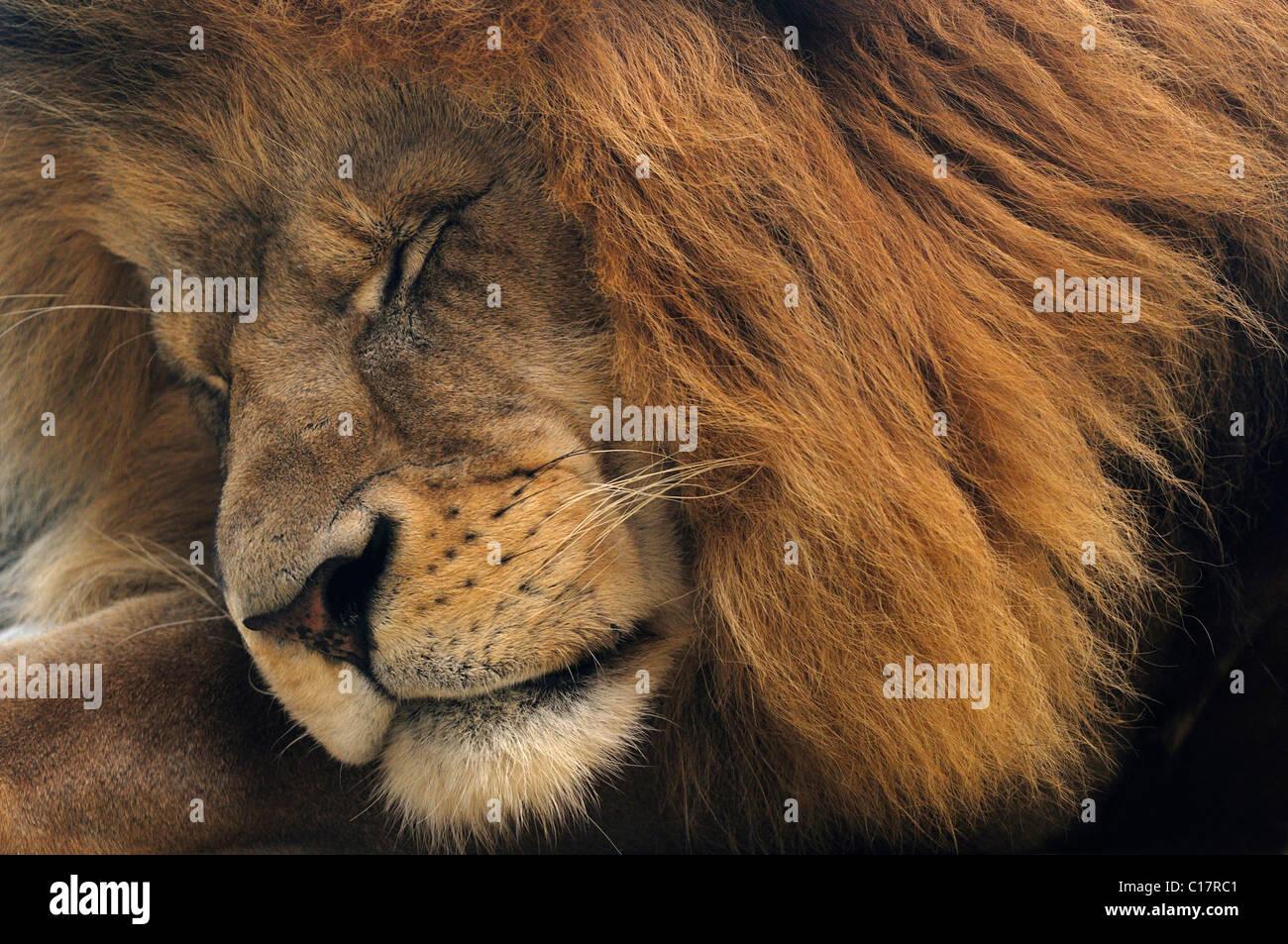 Asiatic Lion (Panthera leo persica), male, portrait - Stock Image