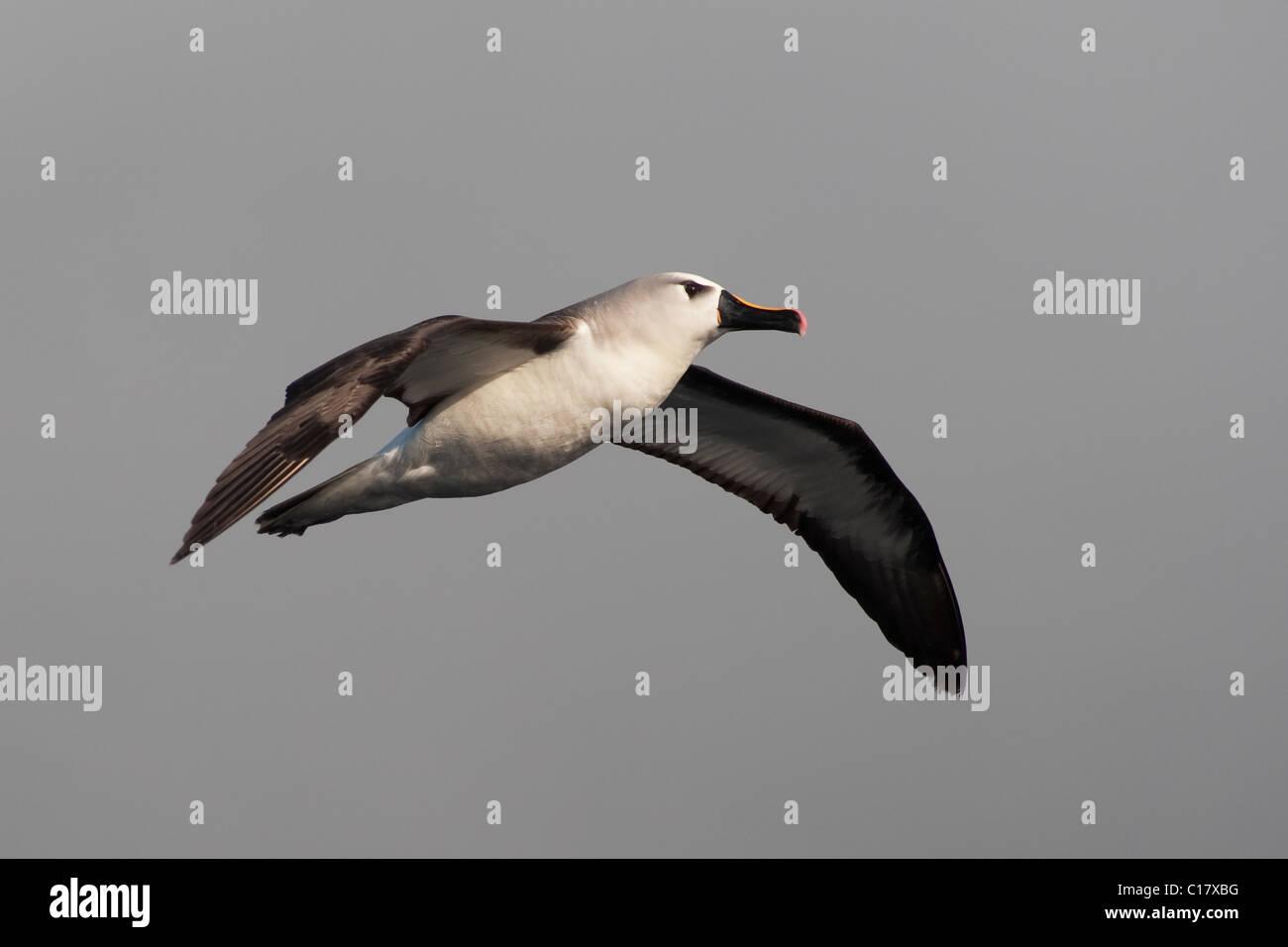 Atlantic Yellow-nosed Albatross (Thalassarche chlororhynchos chlororhynchos) adult bird soaring. - Stock Image
