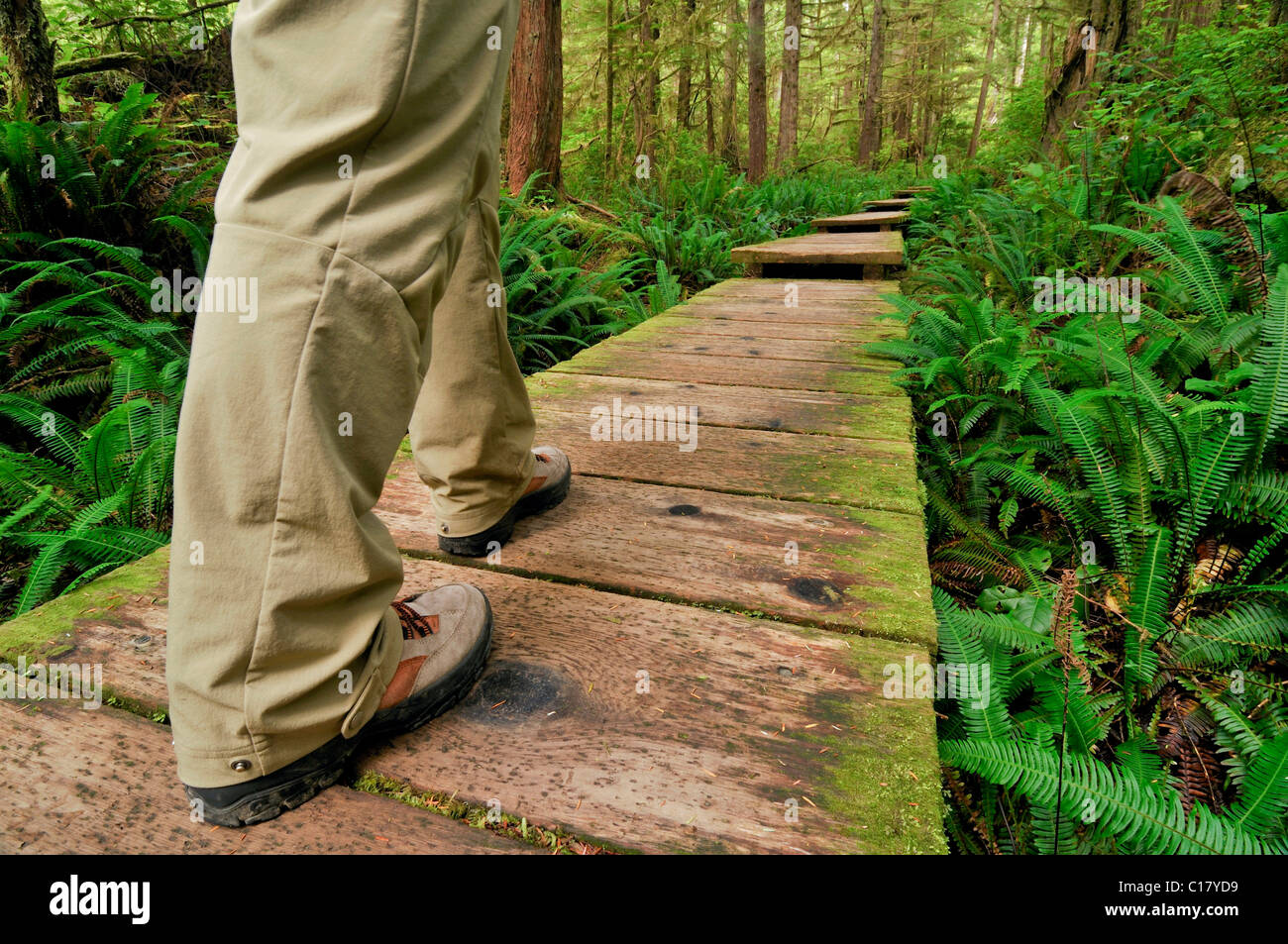 Legs of a hiker on path made of wooden planks, leading through the rainforest to Sand Point, Olympic National Park, - Stock Image