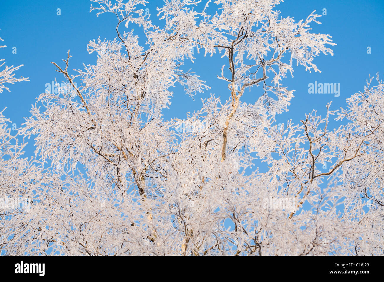 Birch tree branches covered with frost - Stock Image