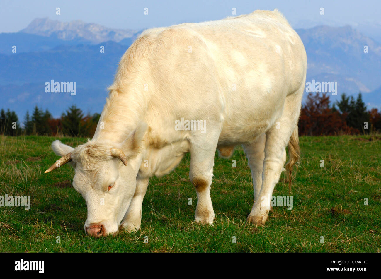 Young fattening bull, Charolais beef-cattle, grazing, France, Europe - Stock Image