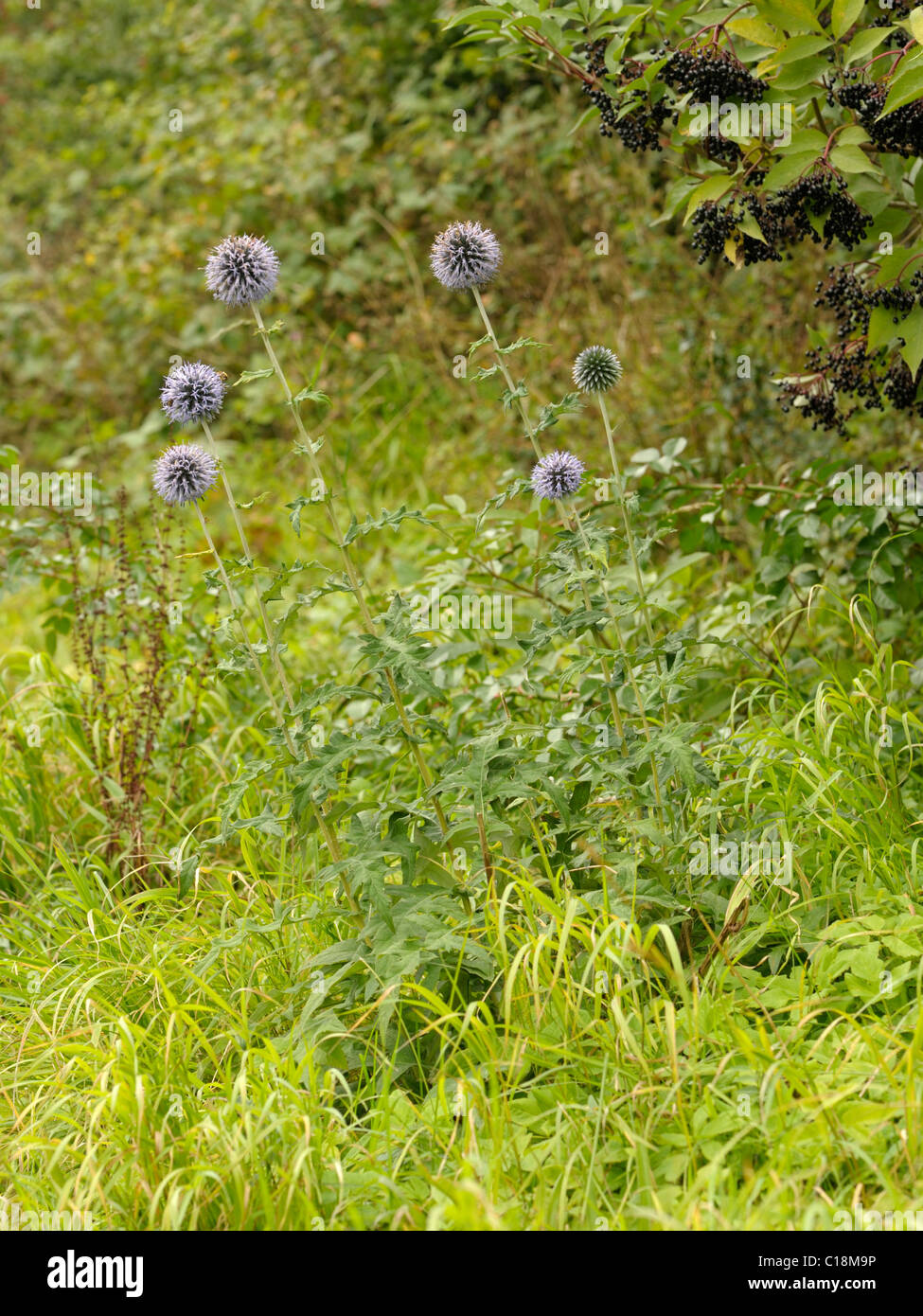 Blue Globe-thistle plant, echinops bannaticus - Stock Image