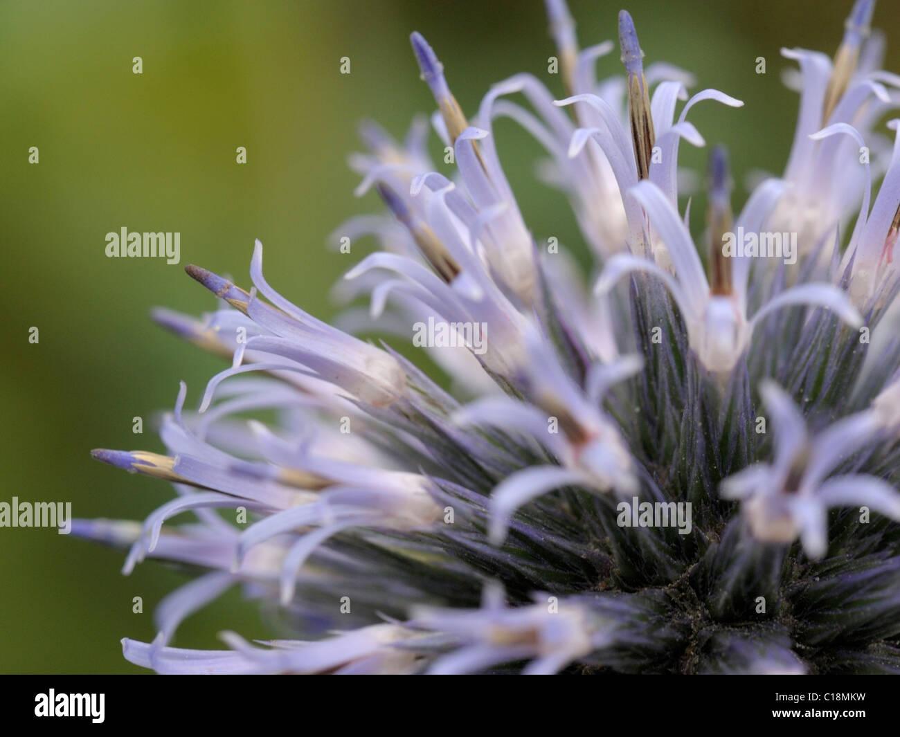 Blue Globe-thistle, echinops bannaticus - Stock Image