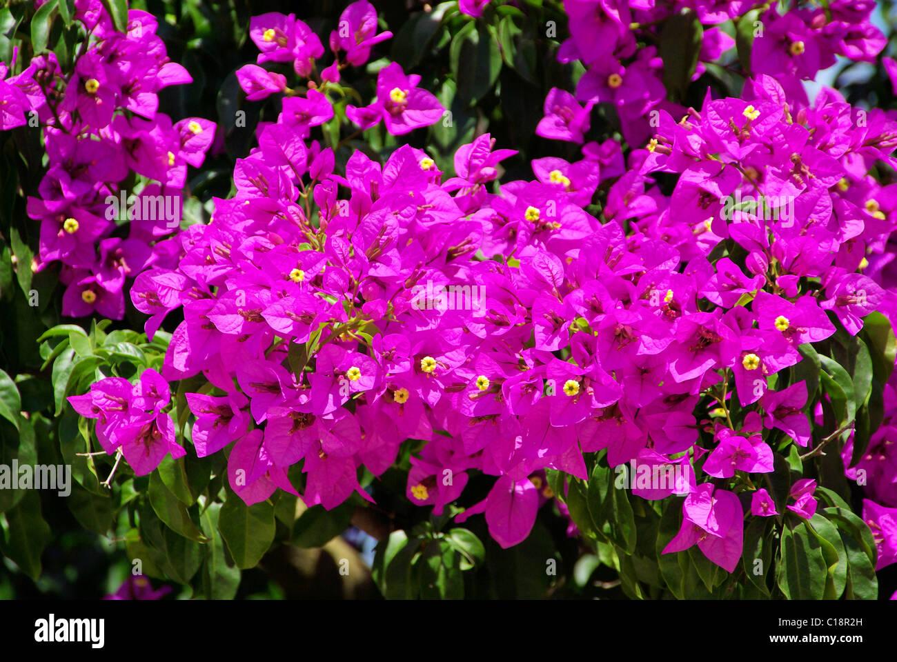 Bougainvillea 11 - Stock Image