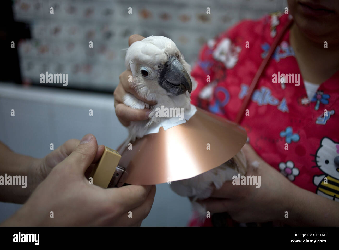 Veterinarians put an Elizabethan collar to a White Cockatoo at a Pet Hospital in Condesa, Mexico City, Mexico, February - Stock Image