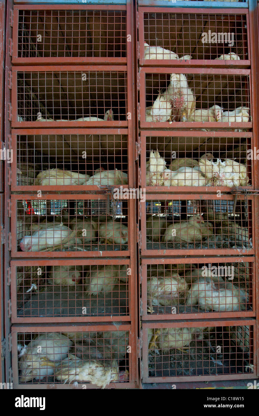 Live caged chickens being transported for sale, Manali, Himachal Pradesh, India - Stock Image