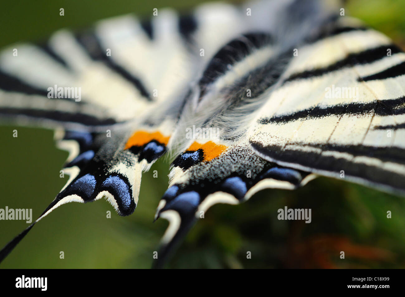 Richly coloured wing tips of the Scarce Swallowtail (Iphiclides podalirius) Stock Photo