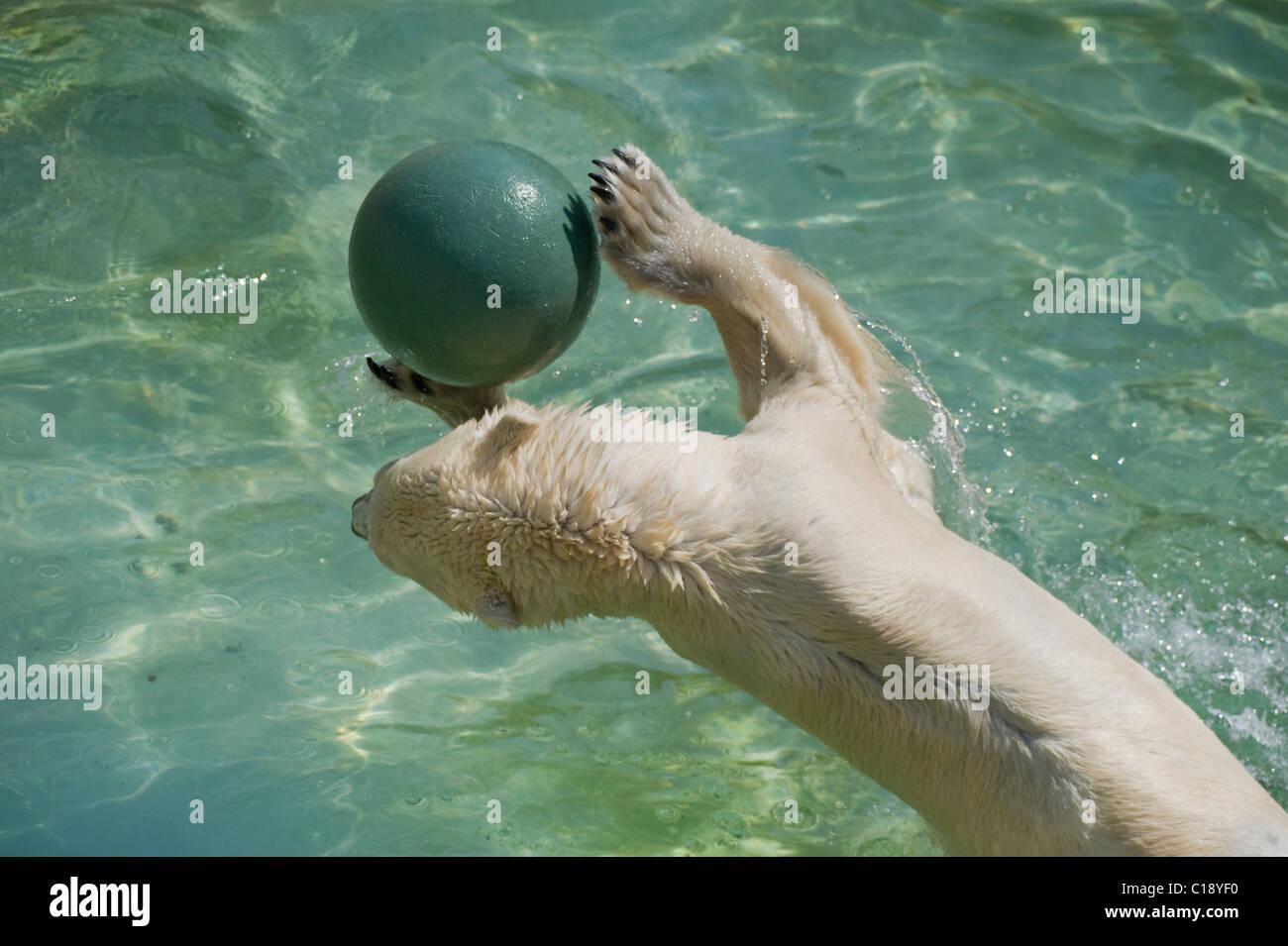 Polar Bear (Ursus maritimus) playing with a ball, Zoo Schoenbrunn, Vienna, Austria, Europe Stock Photo