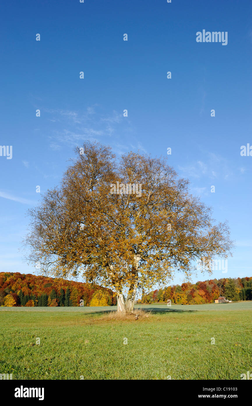 Weeping birch tree, silver birch, white birch (Betula pendula) in a meadow - Stock Image