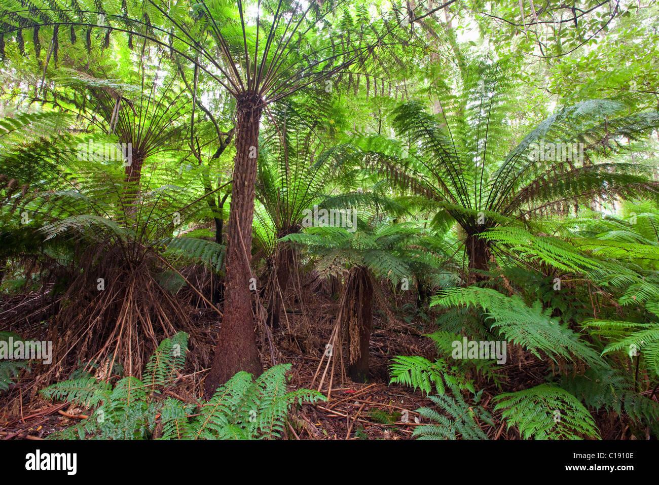 temperate rainforest, Great Otway National Park, Victoria, Australia - Stock Image