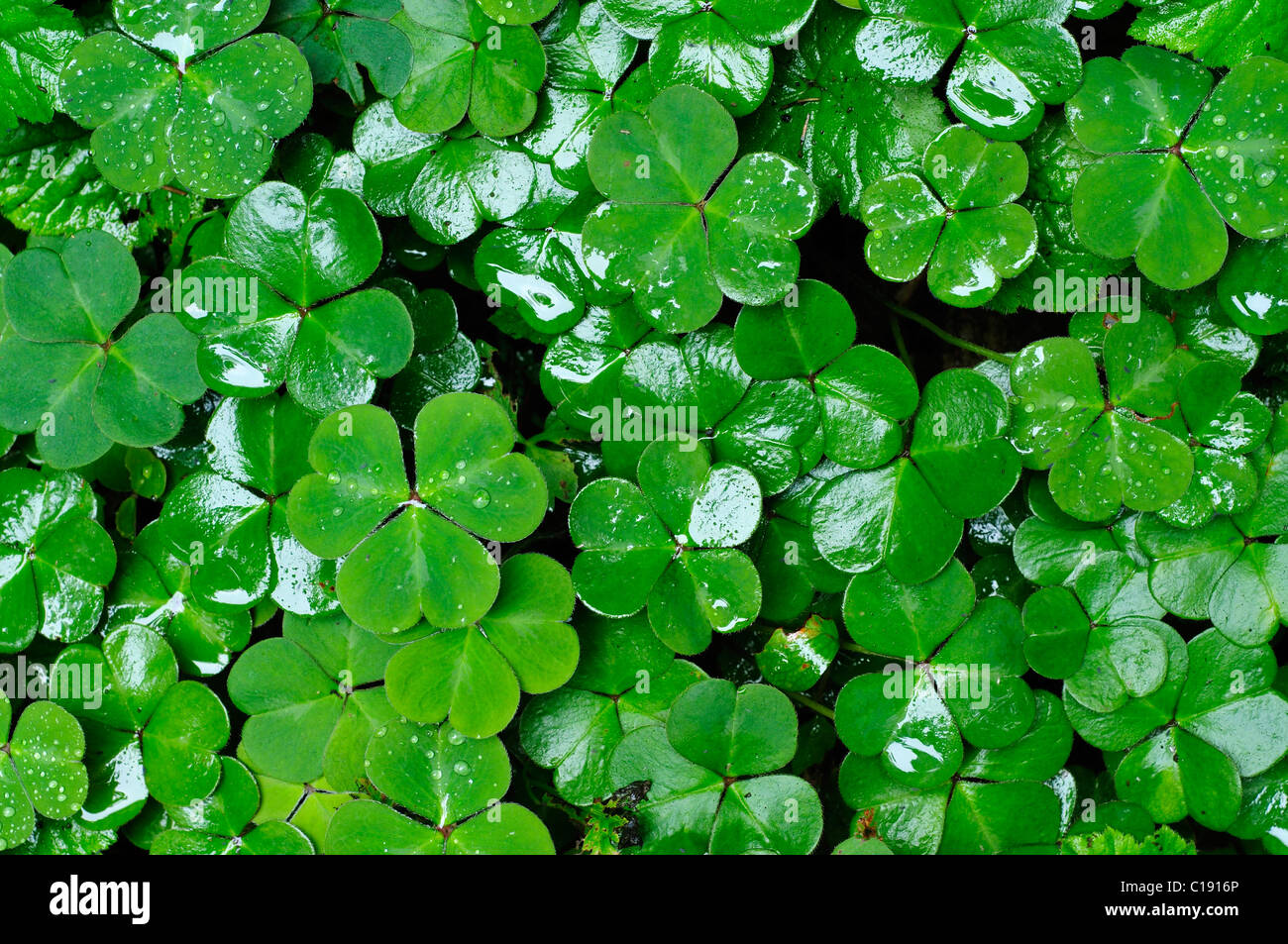 Clover leaves - Stock Image