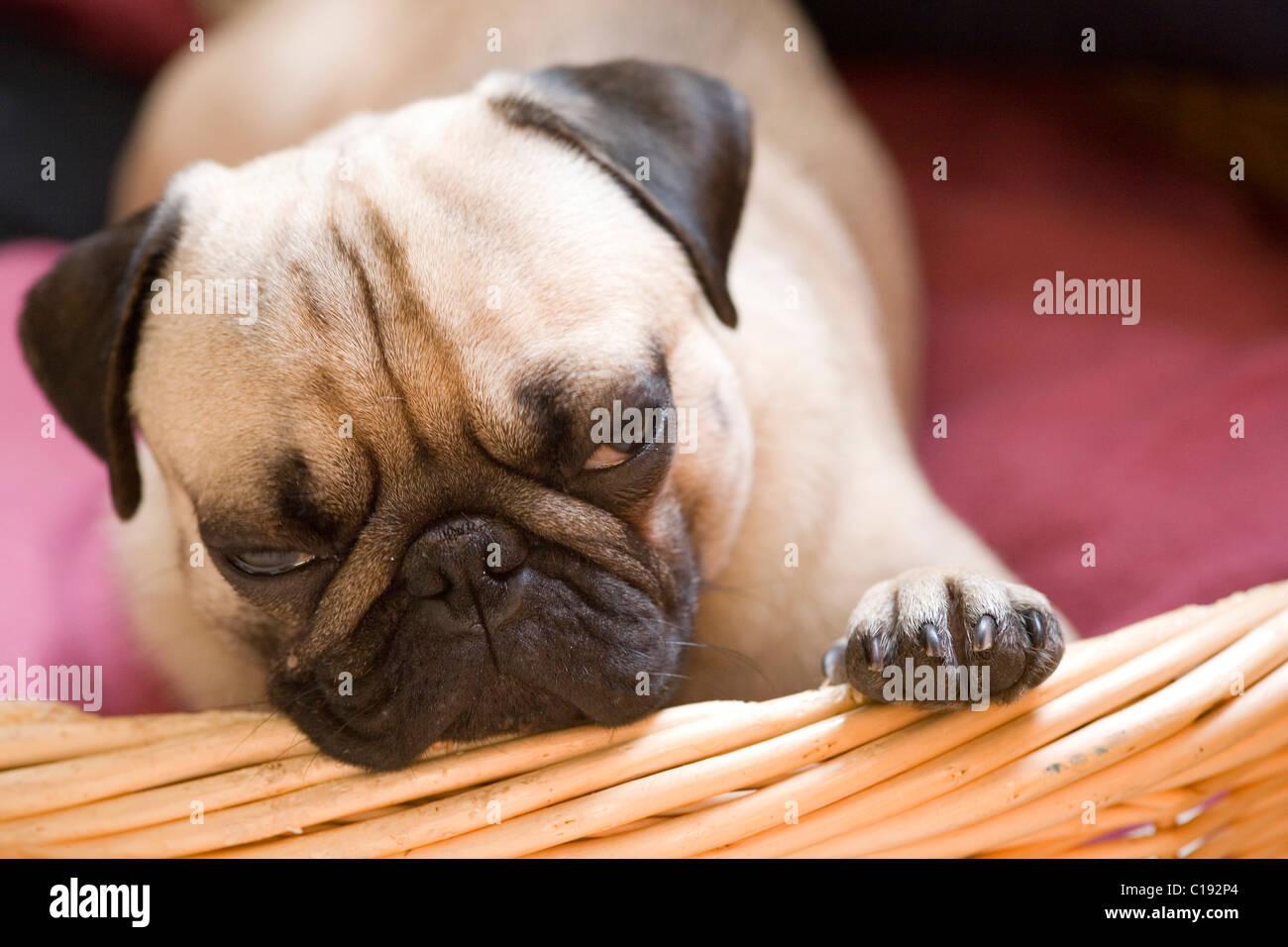 Pug, young, lying, basket, snoozing - Stock Image