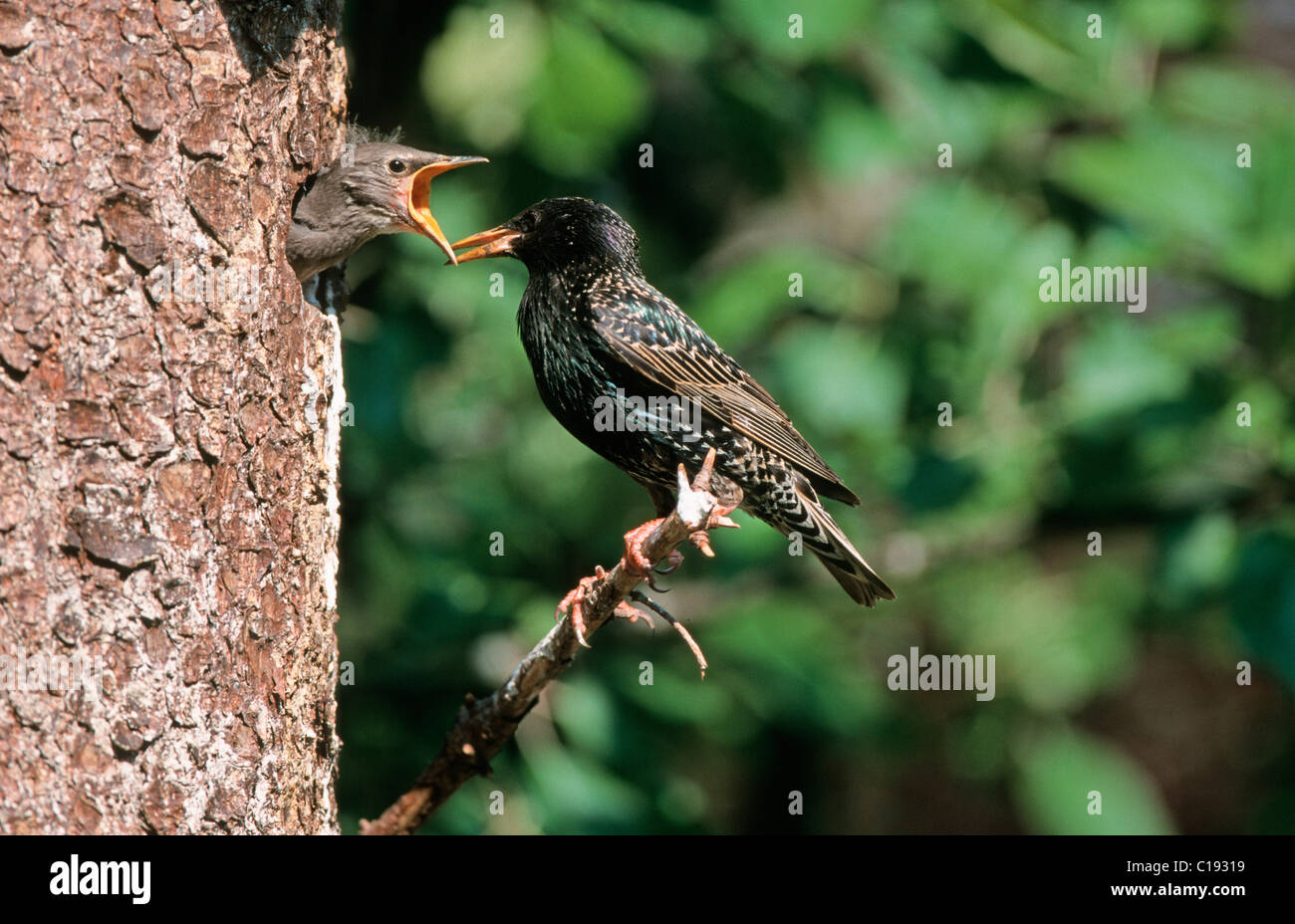 European Starling, Common Starling or Starling (Sturnus vulgaris) at nest Stock Photo