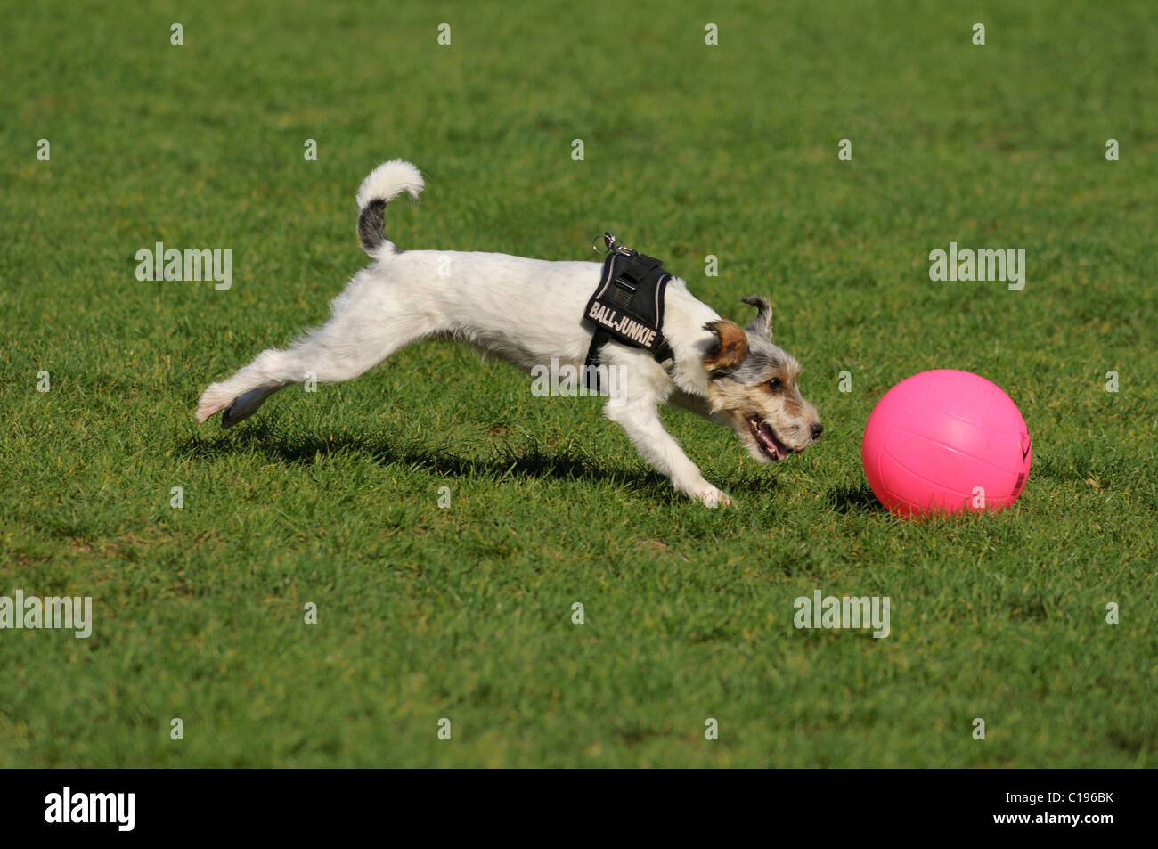 Terrier sprinting after his pink ball - Stock Image