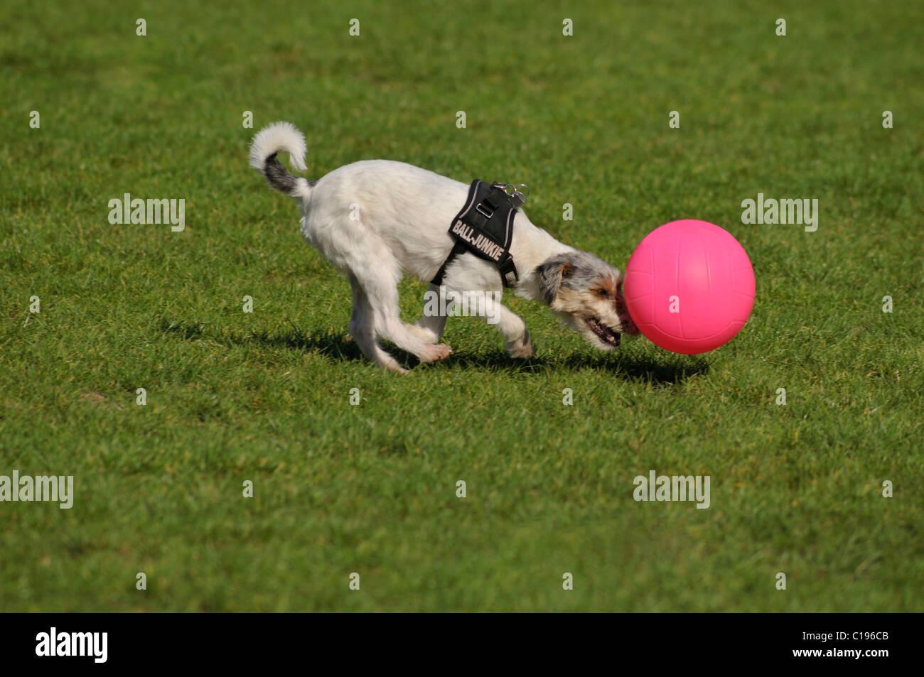 Terrier pushing his pink ball - Stock Image