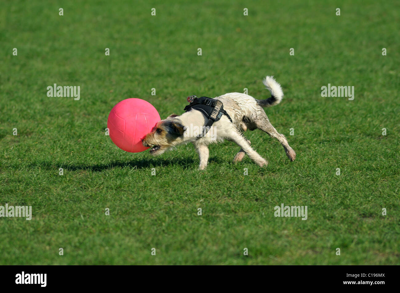 Terrier directing his pink ball to the right Stock Photo