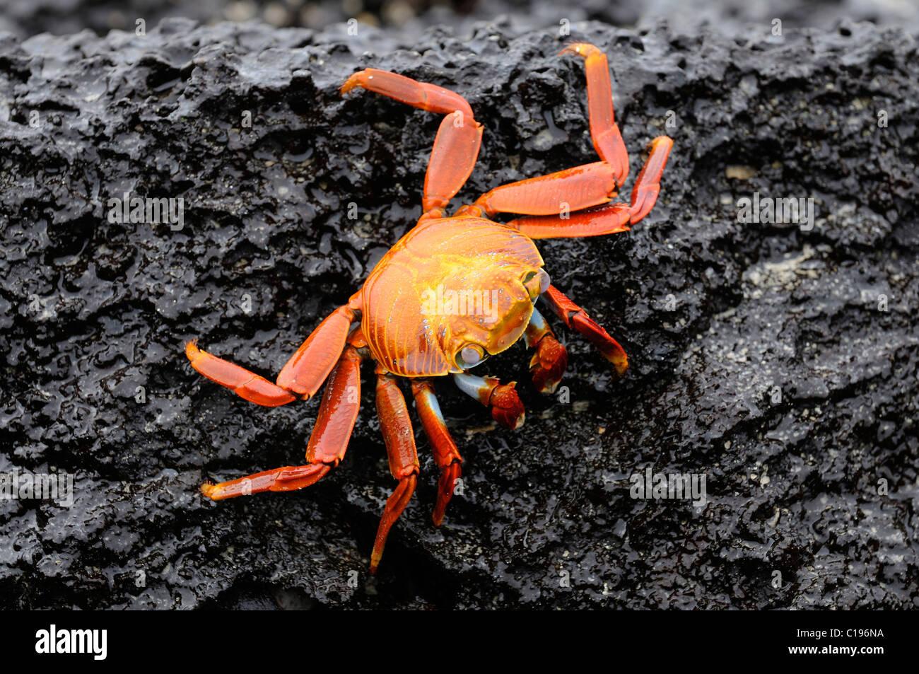 Red Rock Crab (Grapsus grapsus), Española Island, Galapagos, Ecuador, South America - Stock Image