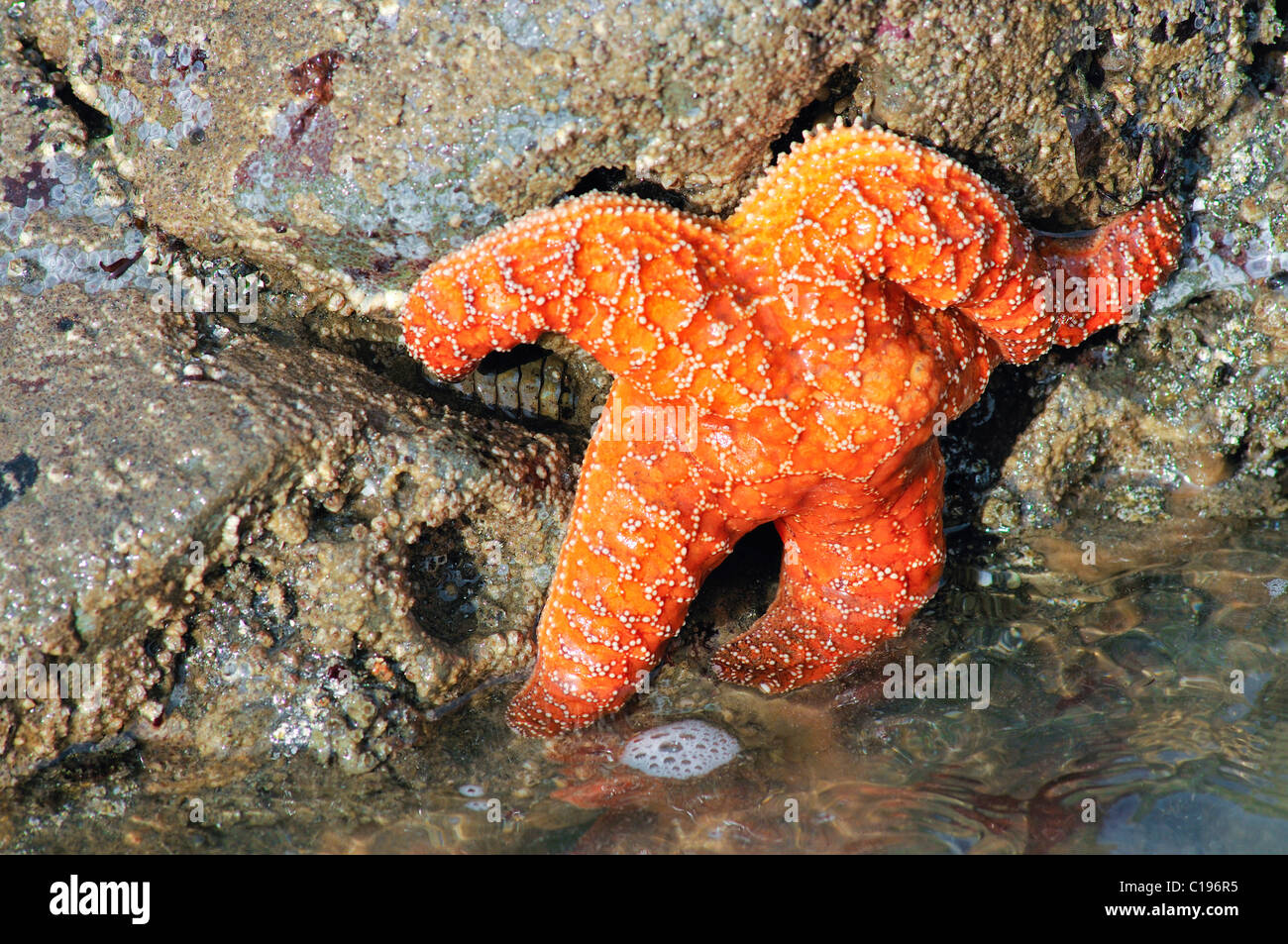 Sea star (Echinodermata spec.) in a pool left by the tide, Olympic National Park, Washington, USA, North America Stock Photo