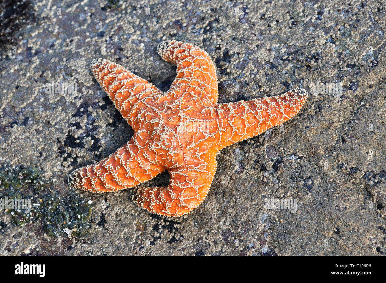 Sea star (Echinodermata spec.) in a pool left by the tide, Olympic National Park, Washington, USA, North America - Stock Image