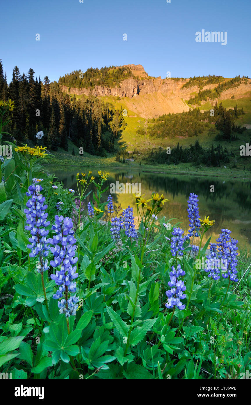 Wildflowers a the bank of Tipsoo Lake at Chinook Pass, Mount Rainier National Park, Washington, USA - Stock Image