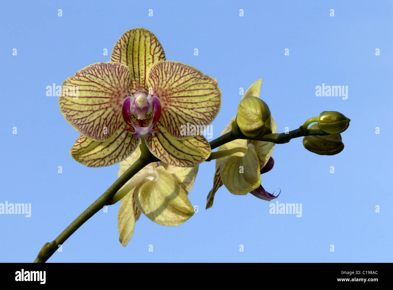 Orchid (Orchidaceae Hybride), flower, Heddesheim, Germany - Stock Image