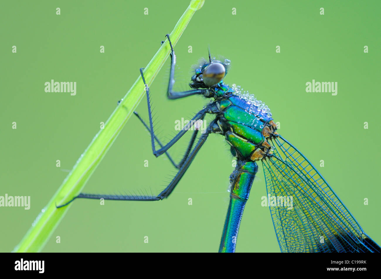 Close shot of a Banded Demoiselle (Calopteryx splendens) Stock Photo