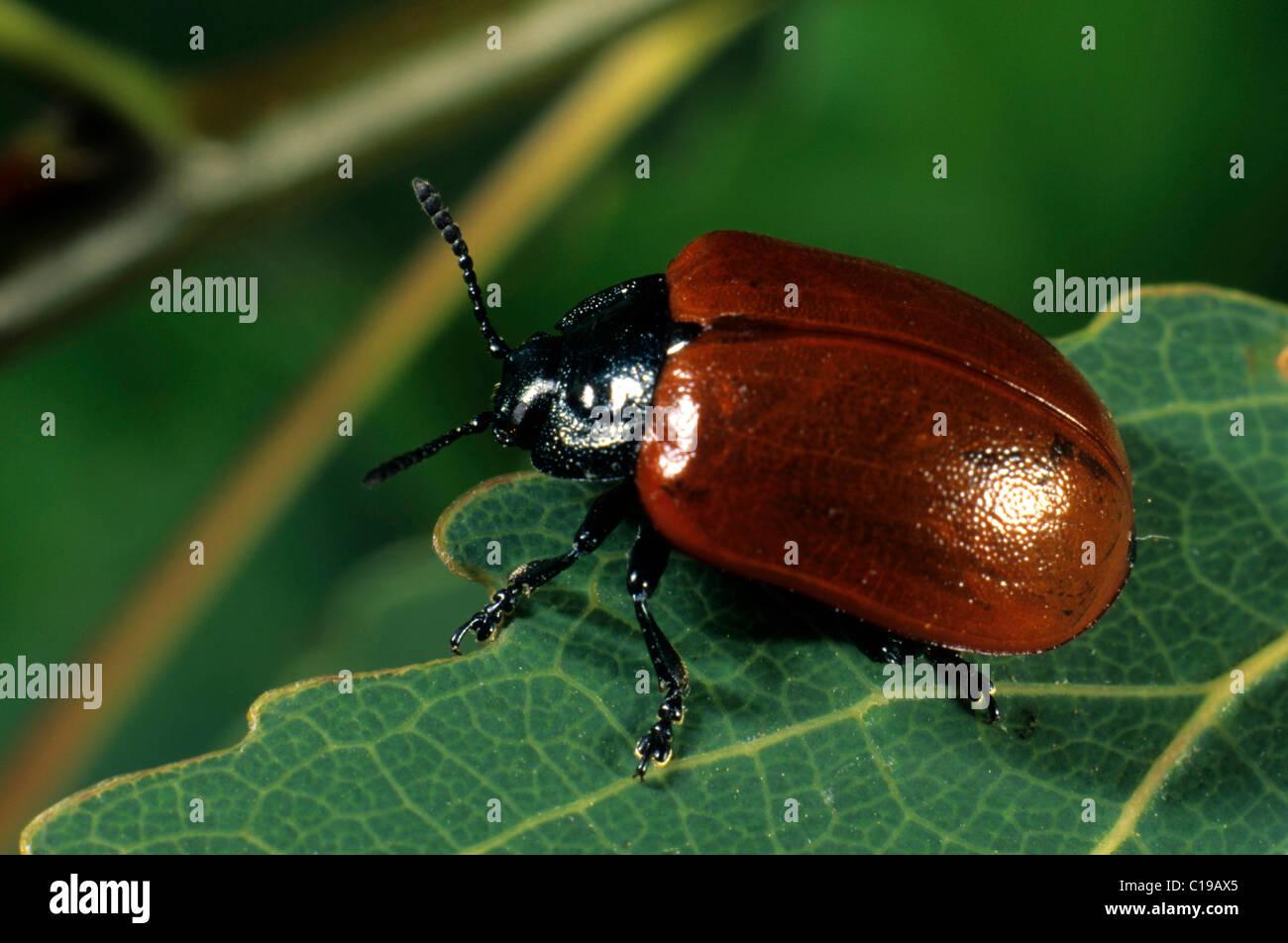 Poplar Leaf Beetle (Chrysomela populi) - Stock Image