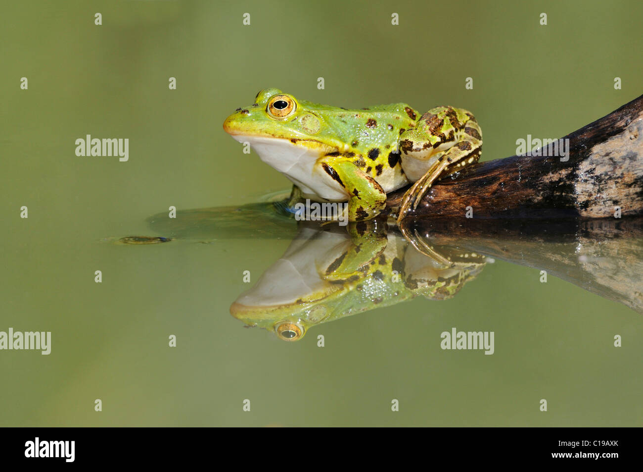 Edible Frog ( Pelophylax kl. esculentus) and reflection - Stock Image