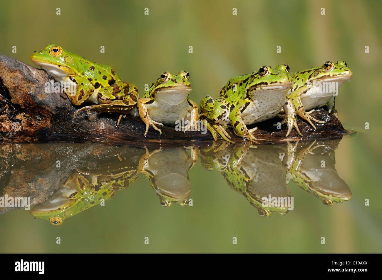Edible Frogs ( Pelophylax kl. esculentus) sitting on a branch with reflection - Stock Image