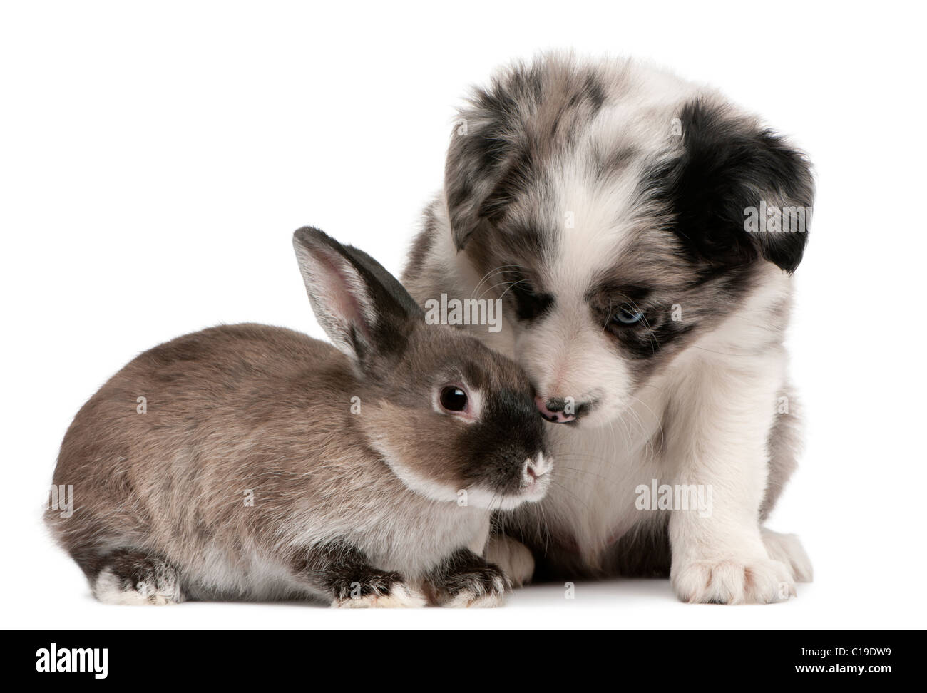 Blue Merle Border Collie Puppy Stock Photos & Blue Merle