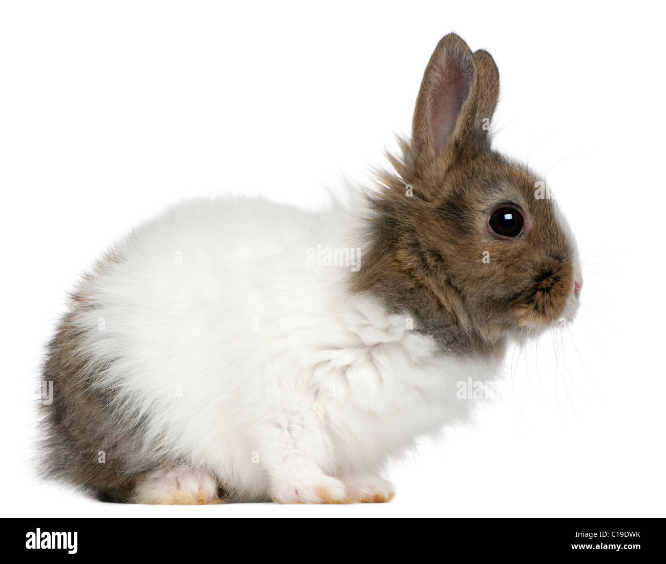 Young Lionhead rabbit, 2 months old, in front of white background Stock Photo