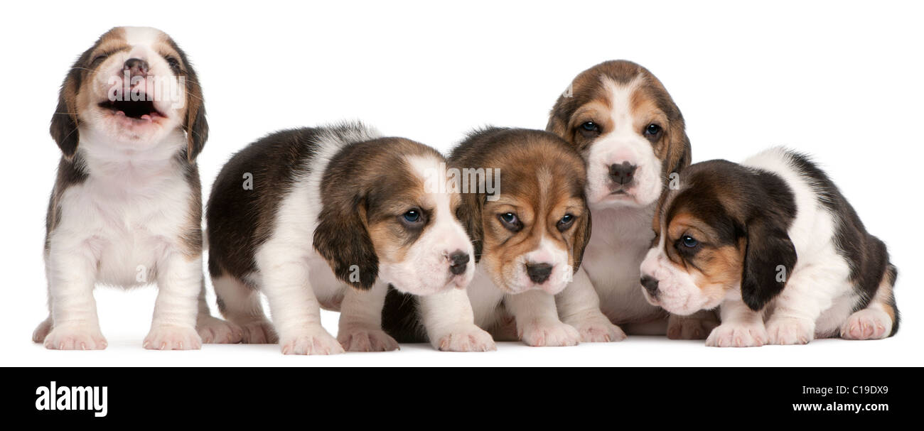 Group of Beagle puppies, 4 weeks old, sitting in a row in front of white background - Stock Image