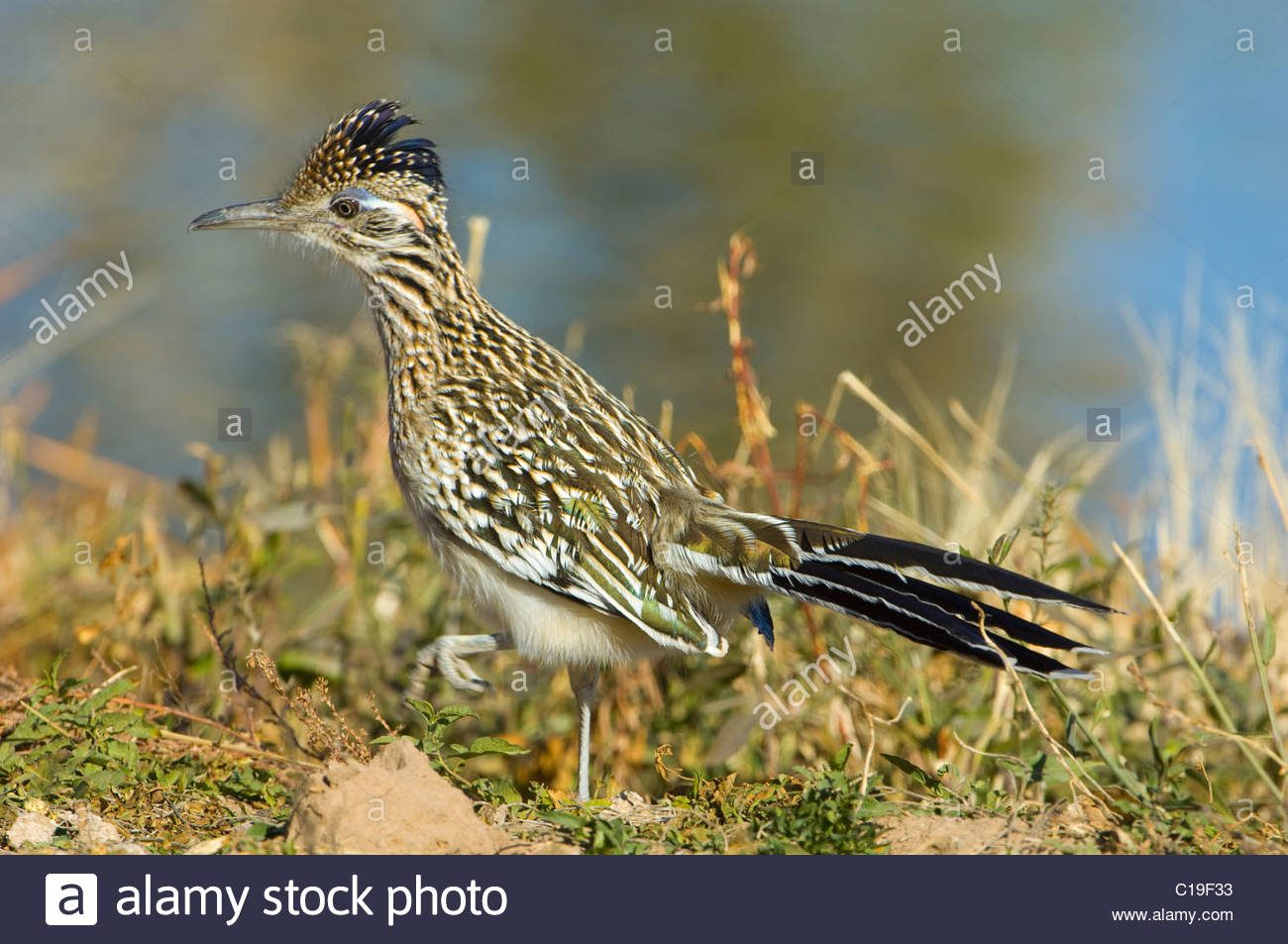 Greater Roadrunner, (Gercoccyx californiaus) - Stock Image