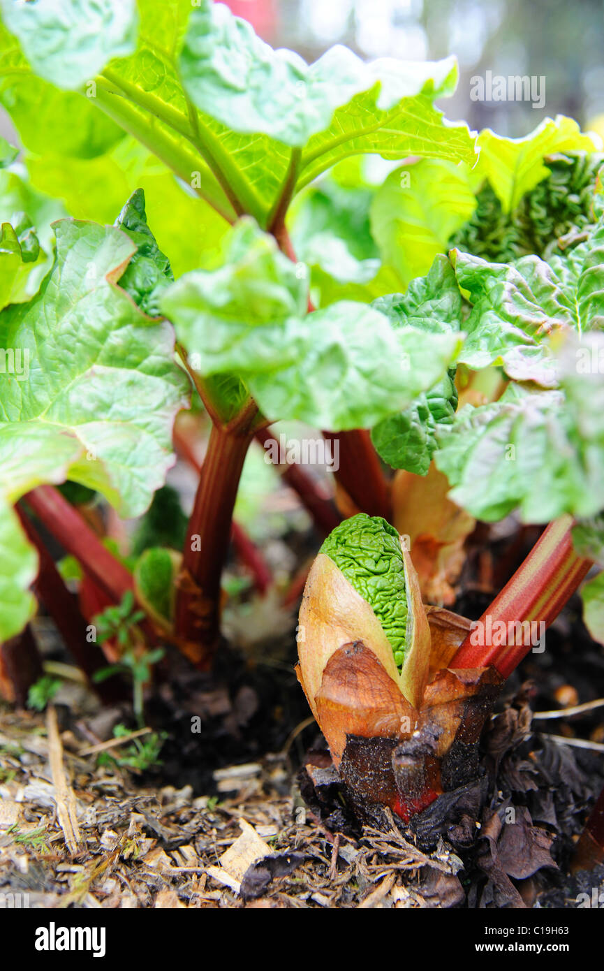 Young rhubarb shoots in a spring allotment Stock Photo