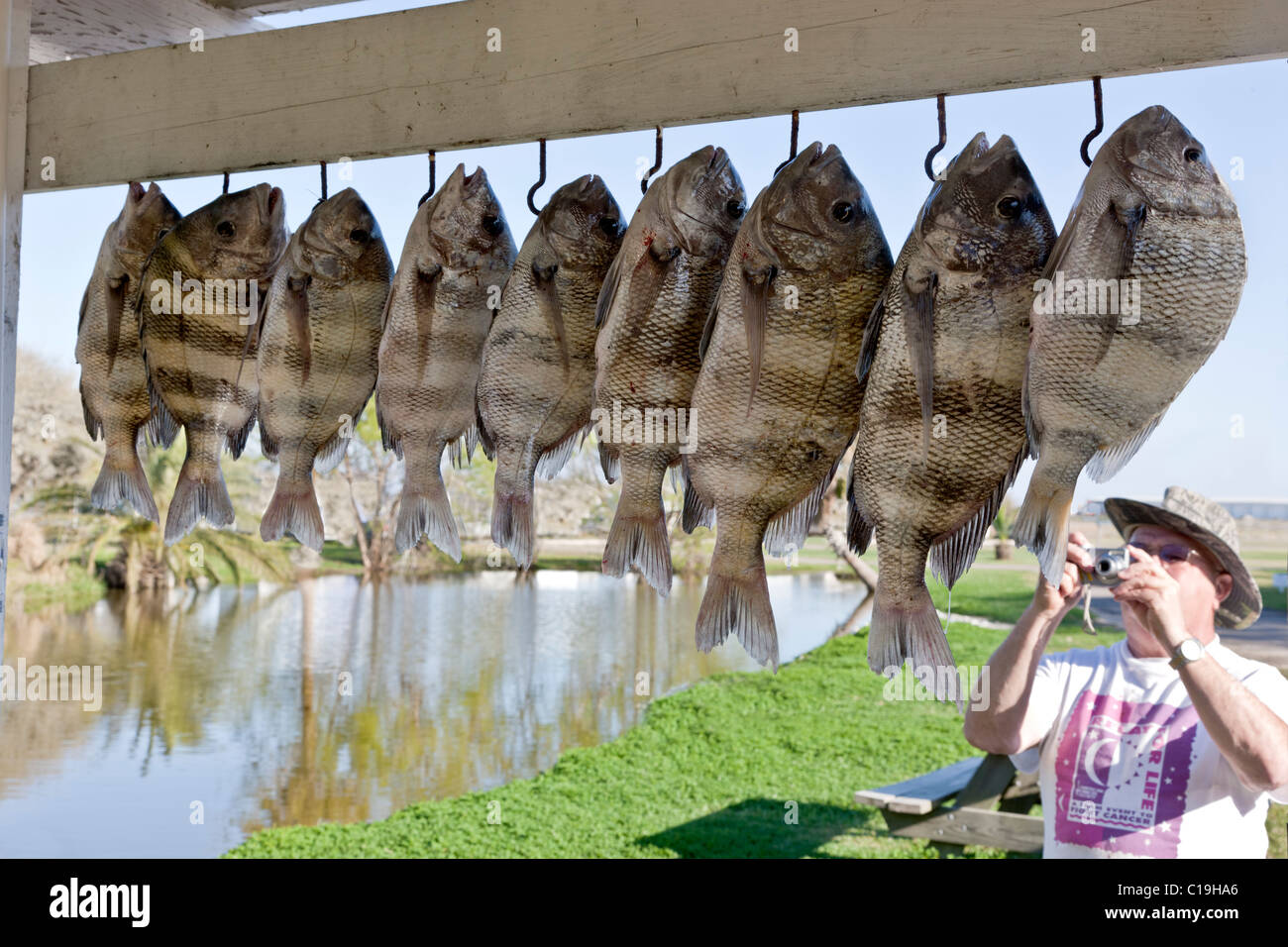 Fisherman photographing 'sheepshead,  his  'latest' catch, - Stock Image