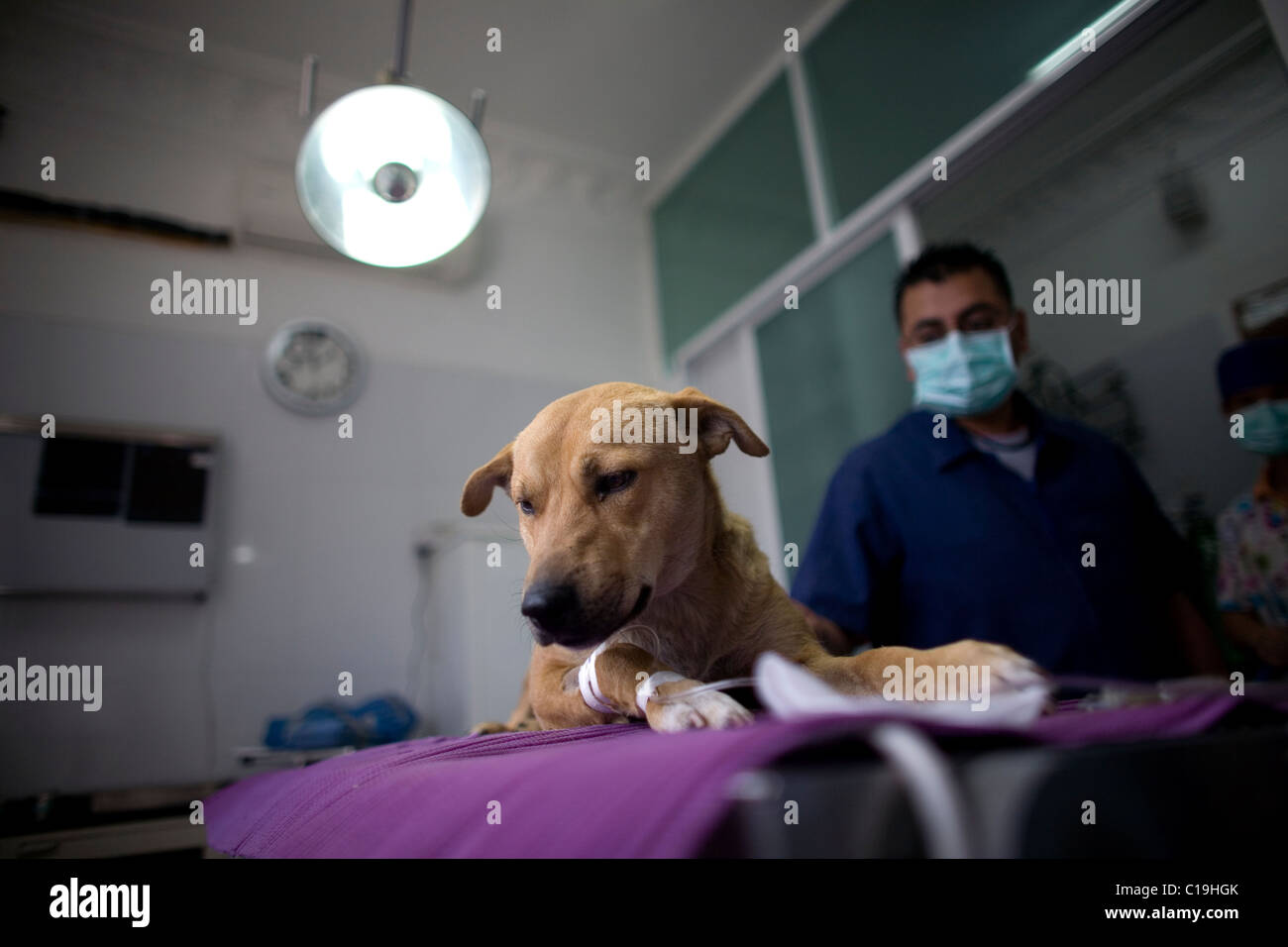 A veterinarian pass by a dog before a surgery at the operating room of a Pet Hospital in Condesa, Mexico City, Mexico, - Stock Image